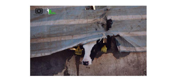 مدیریت گوساله ها ۳